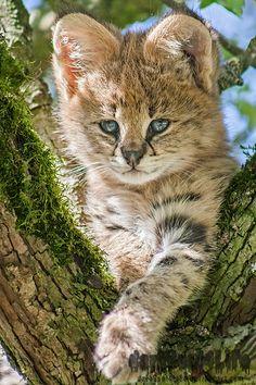 earthlynation:    Serval Kitten