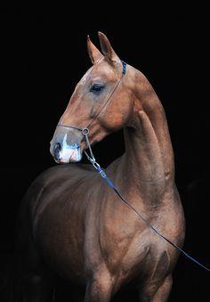 AltynYulduz-Geli, Akhal Teke stallion - I imagine the horses of 'The Scorpio Races' to look like Akhal Tekes.