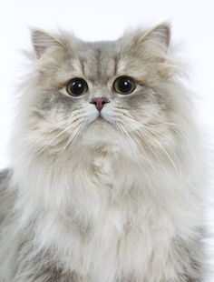 Highland Straight #cat. Enter Royal Canin's Pinterest contest to win cat-related prizes! http://on.fb.me/GBc597