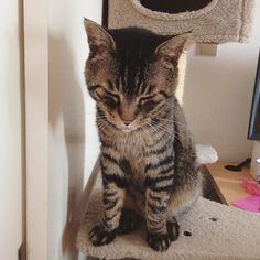 おはムサシ 早くドアを開けてほしいの顔Open the door!!  #musashi #mck #cat #キジトラ #ムサシさん by _daisy