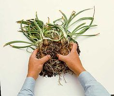 How to divide bulbs and perennials