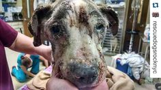#Repost @rescuedogsrocknyc with @repostapp.  We cannot fathom the suffering poor Heather has endured in her short but miserable life! She has endured the unthinkable abuse torture & neglect at the hands of some very sick humans. The girls at our SC vet partner cried as they bathed her. Heather whimpered & cried also. She was covered in fleas filth & open infected sores. Heather has demodex mange is very anemic emaciated & is suffering from infection. Please take a stand against abuse…