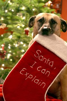 Santa, I can explain funny cute animals dogs holidays christmas stocking Primitive Christmas, Noel Christmas, Christmas Animals, Christmas Quotes, Christmas Humor, Christmas Pets, Christmas Stuff, Christmas Pictures, Christmas Scenes