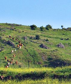 Herd Of Cows In The Golan Heights, Israel