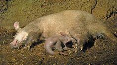 cerdo hormiguero con cria - Buscar con Google