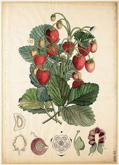 Fragaria vesca L. Vintage Botanical Prints, Botanical Drawings, Botanical Art, Vintage Art, Illustration Inspiration, Decoupage, Hippie Art, Fruit Art, Science Art