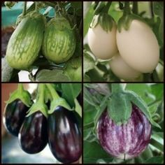 Aubergine F1 Mini Fruited Collection Four Varieties buy now @ http://www.vegetableplantsdirect.co.uk/ourshop/prod_2342672-Aubergine-F1-Mini-Fruited-Collection-Four-Varieties.html