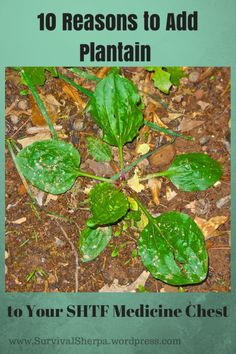 10 Reasons to Add Plantain to Your SHTF Medicine Chest