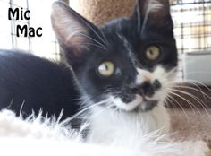 """Greetings from the """"BIG CAGE"""" here at San Mateo Pet Supply... My name is Mic Mac!! I love to be cuddled and will happily purr away. My favorite brother to play with is Mookie Bear. We run all over here, chasing each other and playing with the toys. It would be much easier if we were not in this cage! Maybe you might like to bring us to your house :)  If you are interested in adopting these cats or any other one listed here please call 877-307-2747 or email adopt@whis-purr.org"""