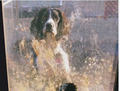 Happiness is.... Playing in the mud!!, Muddy Buddy, the english springer spaniel
