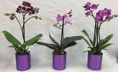 Mini Orchids in Metallic Pot is a best seller at Micky's Minis. Orchid placed in a stylish metallic pot it really brings out the color in the petals. Wallpaper Nature Flowers, Salvia, Wisteria, Bonsai, Origami, Glass Vase, Flora, Planter Pots, Exterior