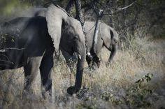 """""""O GRITO DO BICHO"""": Moçambique perde metade de seus elefantes em cinco..."""