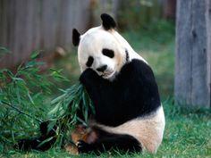 Panda bear endangered species