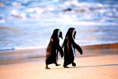 """Penguin love. You can almost hear them """"so what do you want to do today"""" """"not sure but we do need to pick up food for dinner..."""""""