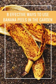 8 Effective Ways to Use Banana Peels in The Garden STOP throwing out banana peels! is part of Garden fertilizer - Garden Compost, Garden Pests, Compost Tea, Garden Fertilizers, Banana Peel Uses, Home Vegetable Garden, Veggie Gardens, Organic Gardening Tips, Growing Vegetables