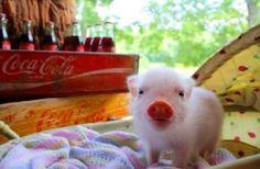 Baby pig. Awww... So cute!!!