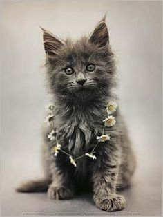 Maine coon kitten by Hale