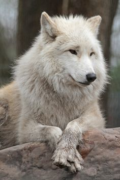 """ Loup y es-tu ? "" / Loup. / Wolf. / Hudson bay. / Baie d'Hudson. / By Joke Kok."