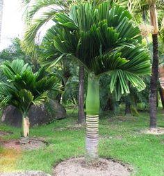 palmeira areca catechu.