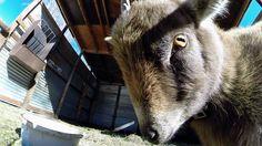 GoPro: Evil Goat