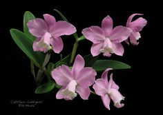 Cattleya loddigesii - Orchid Forum by The Orchid Source