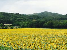 Sea of sunflower!