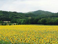 Sea of sunflower!