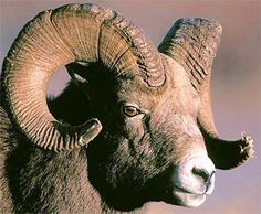 The big horn sheep is known for its impressive horns. Both sexes possess horns, but the ram's are much more robust and noteworthy. The rams have been known to charge and defeat predators as big as mountain lions. During the rut is when the big horn's head smashing battles take place. Females fight each other for status within their flock.