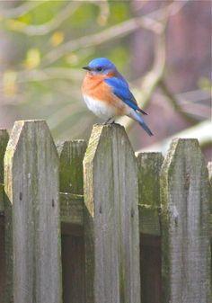 Eastern Bluebird on our Backyard Fence