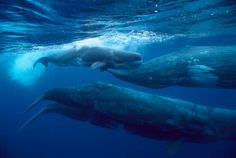 Sperm whales may travel more than a million miles in their lifetime. They are constantly on the move from ocean to ocean, an underwater force of nature in their size and power. Traveling solo for most of their lives, the giant males make their way to places like the Azores every year, connecting with others until they reach their destination, where females await for reunion and renewal.