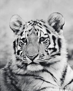 Tiger Photography  Tiger baby animal nature by WindrushImages, $25.00