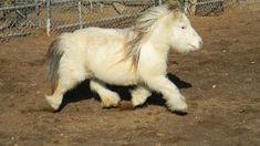 The fluffiest mini horse, which is NOT the same as a pony. Pretty Horses, Horse Love, Beautiful Horses, Animals Beautiful, Fluffy Animals, Cute Baby Animals, Animals And Pets, Miniature Ponies, Tiny Horses