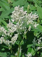 Persicaria polymorpha - Plant Finder