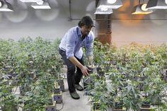 "Marijuana Headlines Weekly Round Up – June 4, 2016   Pot ""N"" Politics"
