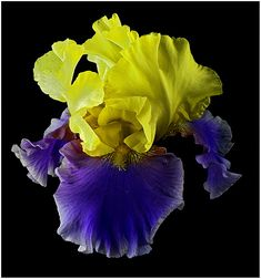 "Tall Bearded Iris ""Jurassic Park"""