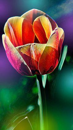 Tulip In Color