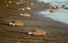 """10 December 2015.  Visitors can best watch """"arribada"""" of Olive Ridley turtle June to October but over 19,000 came ashore early December."""