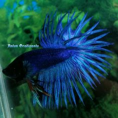 fwbettasct1469154601 - GREEN TURQUOISE INDONESIA CROWNTAIL