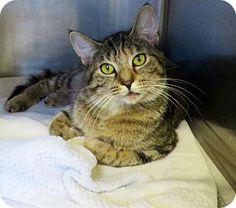 Westampton, NJ - Domestic Shorthair. Meet C-59743 Libby, a cat for adoption. http://www.adoptapet.com/pet/11431137-westampton-new-jersey-cat