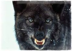 Výsledok vyhľadávania obrázkov pre dopyt vlk