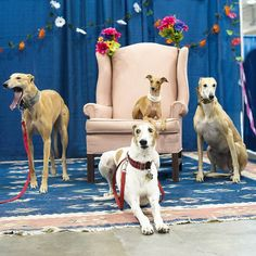 Hanging with my people... They look as big as I feel _ Kids get in free tomorrow at Canadian Pet Expo!!! #CanadianPetExpo #afterthetrack #iggyjoey #greyhoundrescue #greyhounds