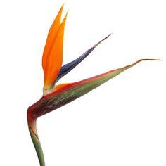 FiftyFlowers.com - Birds of Paradise Tropical Flower