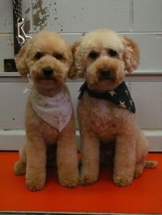 Advice - mid-groom face tidying - Page 2 - Poodle Forum - Standard Poodle, Toy Poodle, Miniature Poodle Forum ALL Poodle owners too!