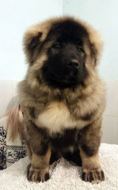 The leading Russian Kennel Voronezhskie bogatyri sells puppies of   Caucasian Mountain dogs.