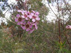 Gerltan Wax from Western Australia Australian Wildflowers, Western Australia, Habitats, Ladybug, Wild Flowers, Wax, Butterfly, Plants, Wildflowers