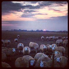 Texel sheep near Den Burg - © Marlon Paul Bruin
