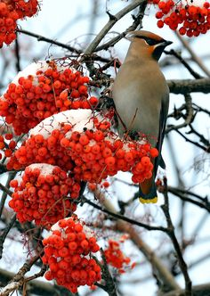 Cedar Waxwing & Rowan Tree (mt. laurel). The Rowan tree, symbol of peace and security.