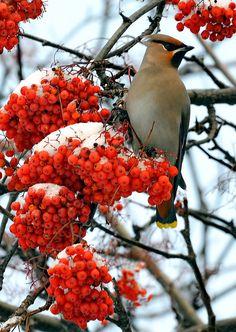 Cedar Waxwing & Rowan Tree (mt. laurel). The Rowan tree, symbol of peace and security.