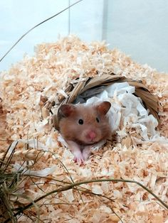 HACK: if you want a nesting material for your hamster you can just rip up some toilet paper or tissue. It works great. DO NOT give your hamster cotton fluff! It is very dangerous Teddy Hamster, Baby Hamster, Hamster Toys, Hamster Cages, Hamster Stuff, Hamster Habitat, Hamster Life, Cute Funny Animals, Cute Baby Animals