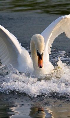 Mute Swan landing...